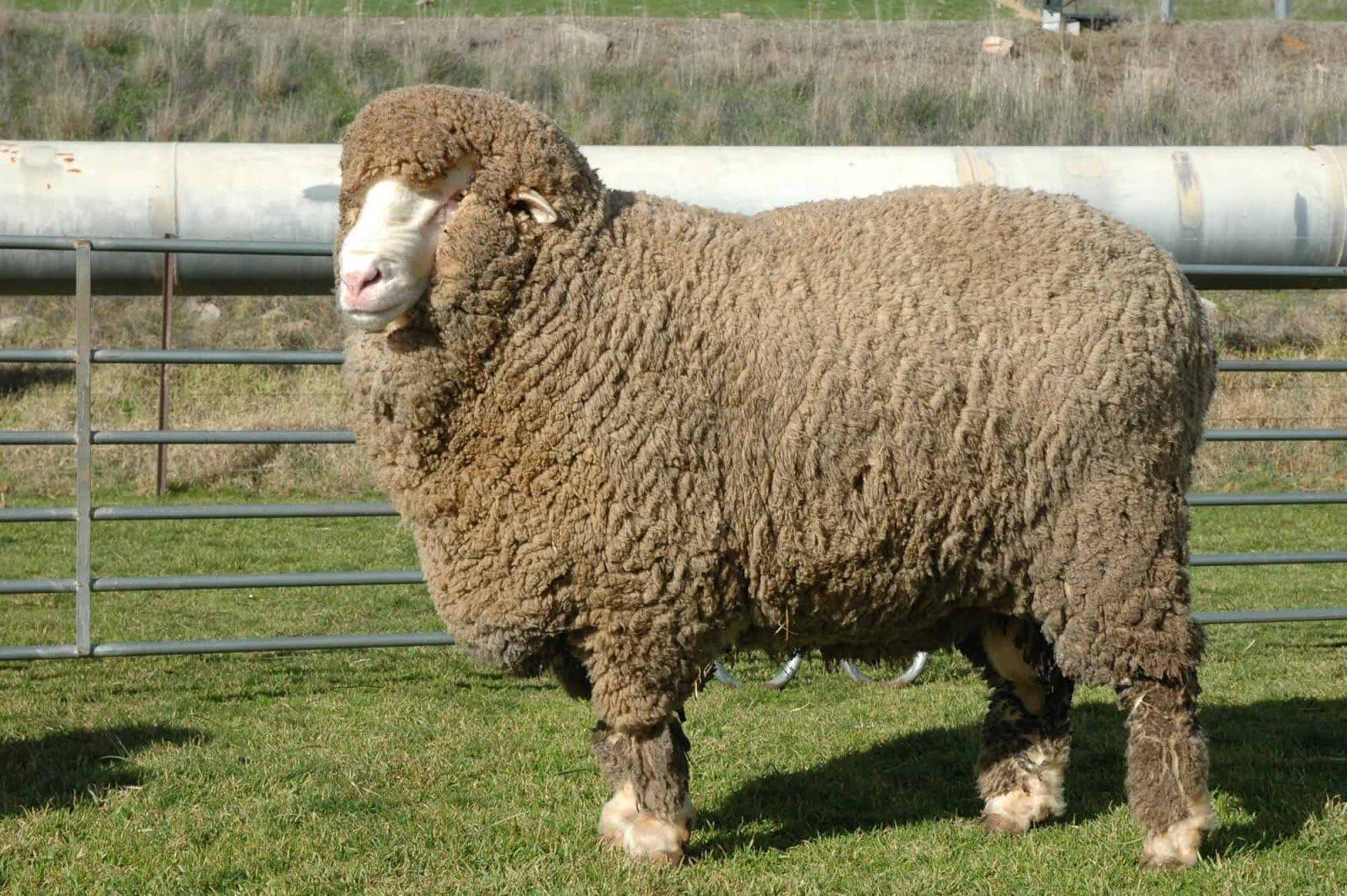 Chăn lông cừu tự nhiên thường làm từ 100% lông cừu và phổ biến nhập khẩu từ Úc