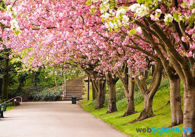 Hoa anh đào là nét đẹp của Nhật Bản (ảnh internet)