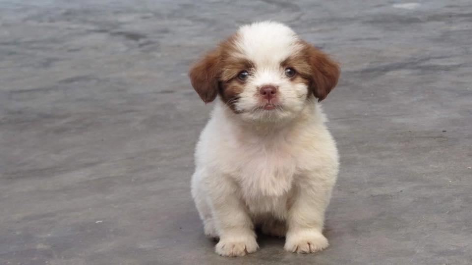 Chó Nhật chỉ ăn được những thức ăn mềm và ướt