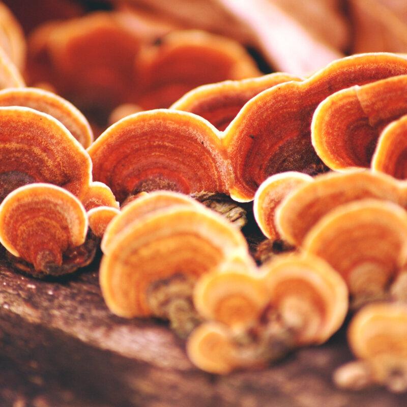 Dùng nhiều nấm linh chi có tốt?