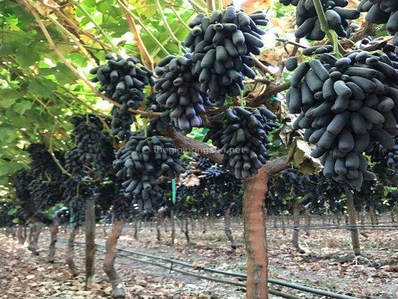 16 loại nho ngon nhất trồng tại Việt Nam và nhập khẩu từ nước ngoài
