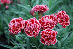 Giá hoa Cẩm chướng