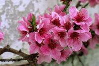 3 bước để hoa đào nở đúng dịp Tết