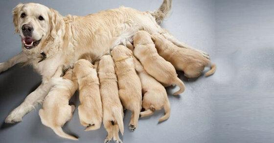 Bật mí thức ăn cho chó mẹ nuôi con luôn ngập tràn sữa