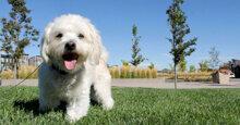 Cách chăm sóc và chọn sữa tắm phù hợp cho chó Poodle trắng