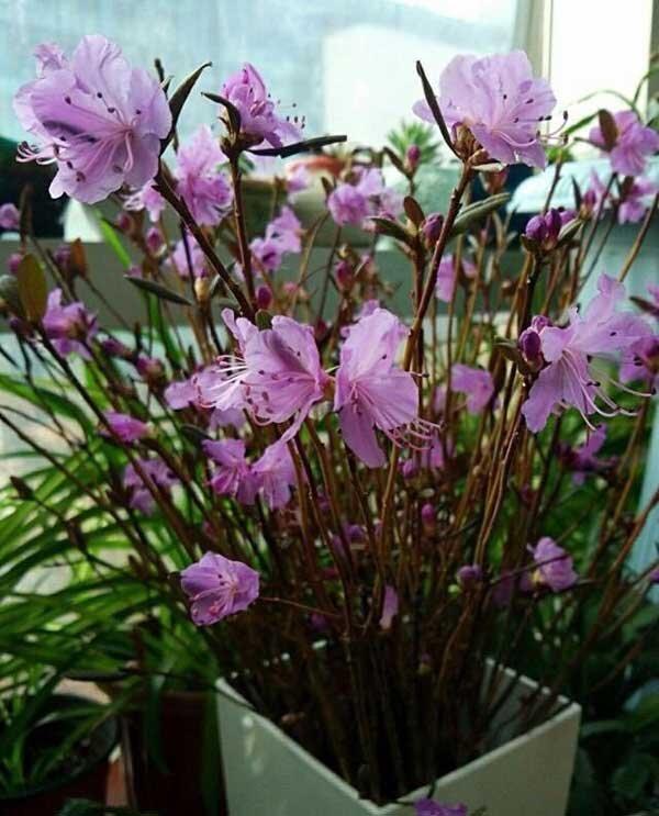 """Cách chọn và cắm hoa đỗ quyên """"ngủ đông"""" nở hoa đẹp đón Tết"""