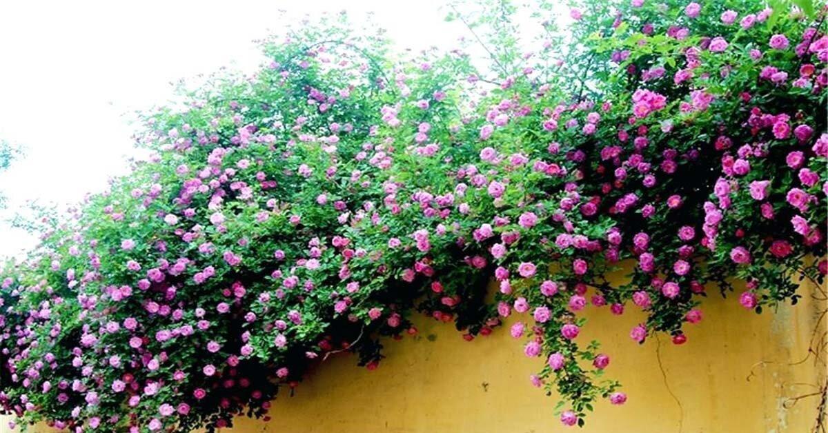 Cách trồng giàn hoa hồng leo đơn giản, biến ngôi nhà thành cổ tích giữa đời thường