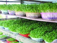 Cách trồng rau mầm đơn giản, trồng rau mầm xà lách, cải bông xanh, cải Nhật.