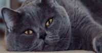 Cẩm nang về thức ăn cho mèo Anh lông ngắn