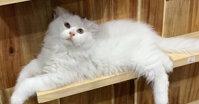 Cẩm nang về thức ăn cho mèo Anh lông dài