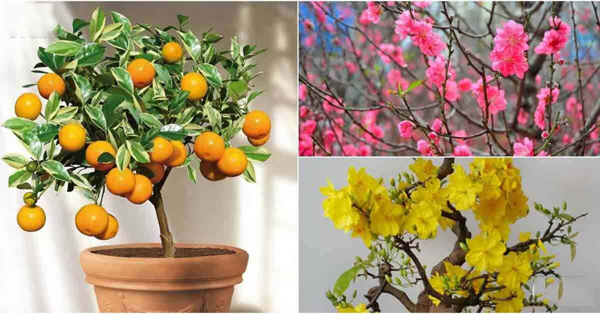 """Cập nhật giá quất cảnh, hoa mai và đào Tết Quý Hợi 2019: """"nóng lên từng ngày"""""""