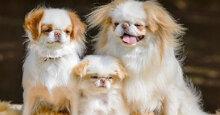 Chế độ dinh dưỡng và thức ăn cho chó Nhật theo từng độ tuổi