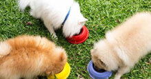 Chế độ dinh dưỡng và thức ăn cho chó Phốc Sóc theo từng độ tuổi