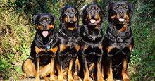 """Chế độ dinh dưỡng và thức ăn cho chó Rott """"chuẩn"""" nhất"""