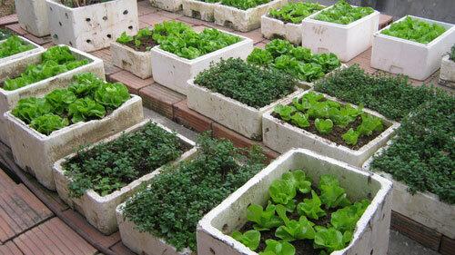 Chia sẻ bí quyết trồng rau tại nhà nhanh mọc, xanh tốt