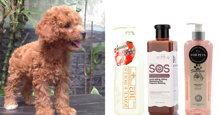Đâu là sữa tắm cho chó poodle nâu đỏ tốt và phù hợp nhất?