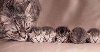 Đâu là thức ăn cho mèo mẹ mới đẻ tốt nhất?