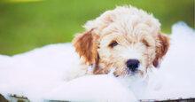 Đây là sữa tắm trị hôi cho chó được chuyên gia khuyên dùng