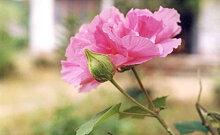 Hoa phù dung có thể chữa viêm tuyến vú