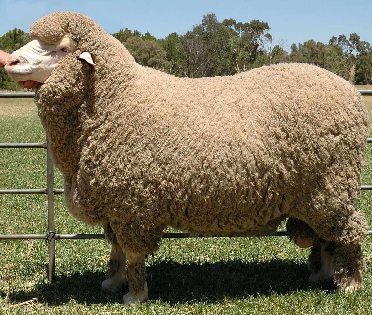 Chăn lông cừu tự nhiên được làm từ 100% sợi lông cừu tự nhiên