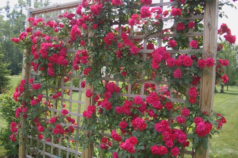 cách trồng hoa hồng leo