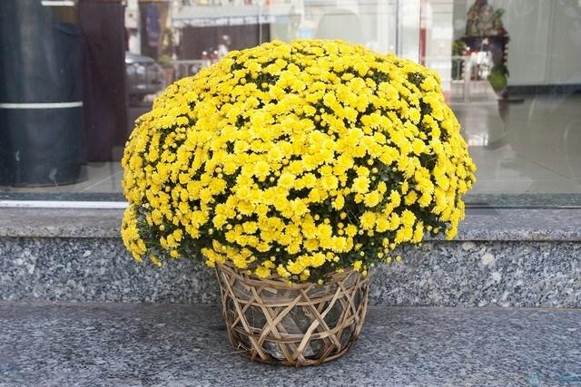 Hoa cúc mâm xôi được bày ngoài cổng nhà rực rỡ tươi tắn
