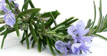 Kinh nghiệm trồng cây hương thảo và cách chăm sóc đúng cách để cây ra được hoa