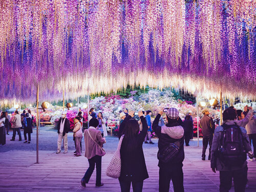 Lễ hội Hoa Tử Đằng 2016 - Điểm đến lãng mạn cho những ai tin vào tình yêu vĩnh cửu