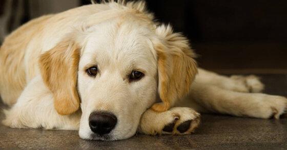 Loại sữa tắm khử mùi hôi tốt nhất cho chó cảnh