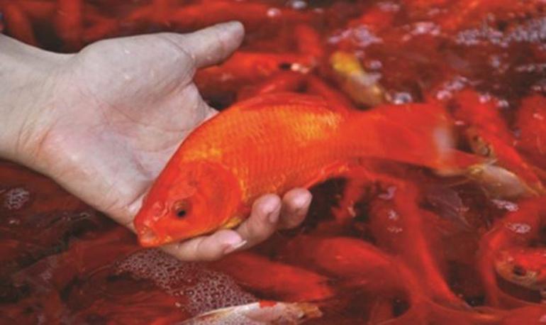 Giá cá chép trên thị trường phục vụ cúng ông Công ông Táo bao nhiêu ?