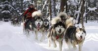 Nhóm thức ăn cho chó Alaska luôn khỏe mạnh và thông minh