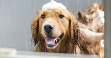 """Những loại sữa tắm khử mùi hôi cho chó hiệu quả """"đỉnh"""" nhất"""