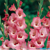 Cách cắm và bảo quản bình hoa lay ơn ngày Tết