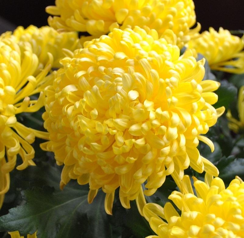 Hoa cúc đại đóa với các cánh hoa đan dày tươi mãi không tàn