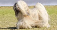 Sữa tắm tốt nhất dành cho chó lông dài