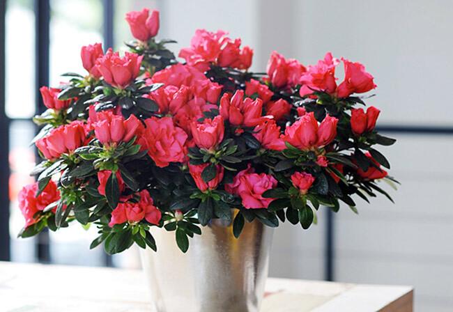 hoa đỗ quyên hồng ngày tết