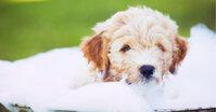 Tại sao nên tắm cho chó bằng sữa tắm?