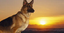 Thức ăn cho chó becgie Đức gồm những gì?