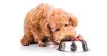 Thức ăn cho chó Poodle 2 tháng tuổi nên gồm những gì?
