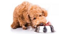 Thức ăn cho chó poodle 2 tháng tuổi những điều bạn cần biết