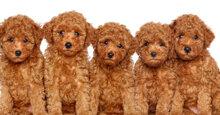 Thức ăn cho chó poodle nhỏ – những điều cần biết