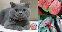 Thức ăn cho mèo Anh lông ngắn: Nên và không nên ăn gì?