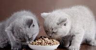 Thức ăn khô cho mèo có ưu và nhược điểm gì?