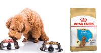 Tìm hiểu về thức ăn royal canin poodle Puppy cho chó Poodle con