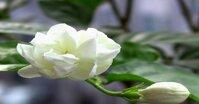 Tinh dầu hoa lài thơm nhẹ kích thích cảm xúc