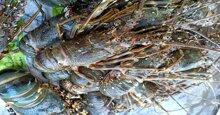 Tôm hùm Alaska có giá rẻ giật mình tại Việt Nam