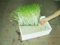 Tổng hợp cách trồng rau mầm không cần giá thể