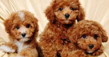 TOP 3 loại sữa tắm cho chó Poodle nâu đỏ tốt nhất