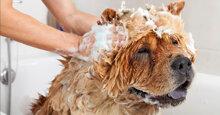 TOP 3 loại sữa tắm khử mùi cho chó hiệu quả được tin dùng nhất hiện nay