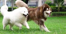 TOP 3 thức ăn khô cho chó Alaska tốt nhất